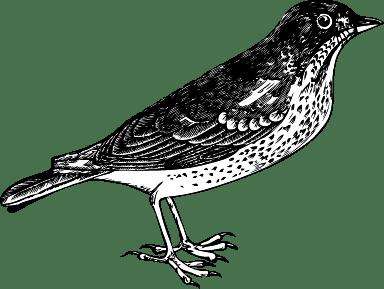 Chirping Warbler