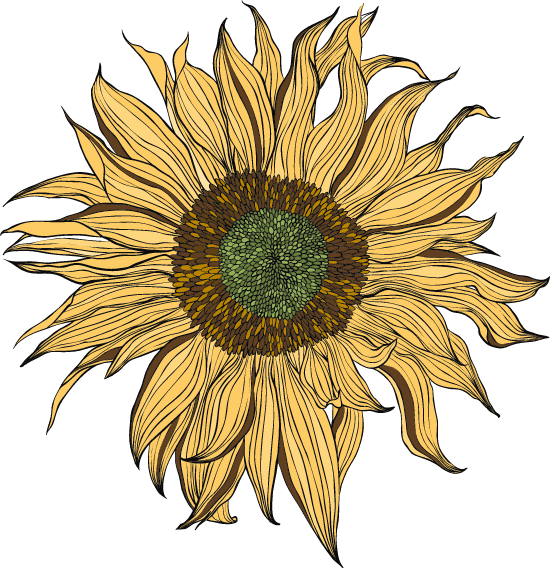 Ragged Sunflower