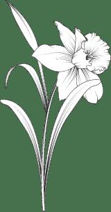 Daffodil Stem 02