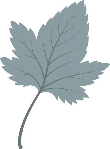 Plain Sycamore Leaf