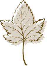 Brown Sycamore Leaf