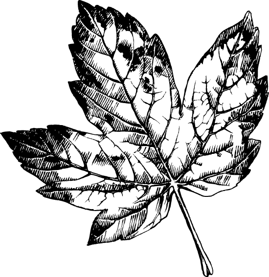 Black & White Maple Leaf