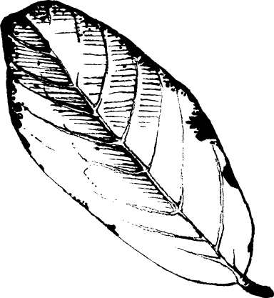 Black & White Apple Leaf