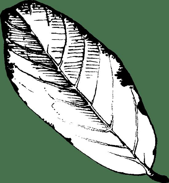 Black & White Apple Leaf