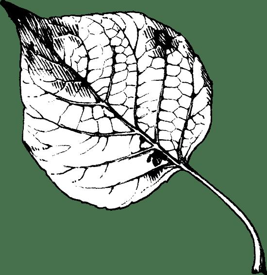 Black & White Poplar Leaf