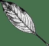 Shaded Elm Leaf