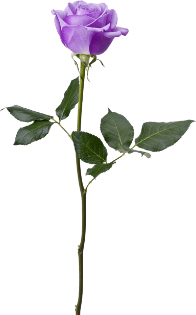 Rose on Stem