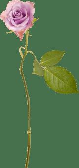 Long-stemmed Rose