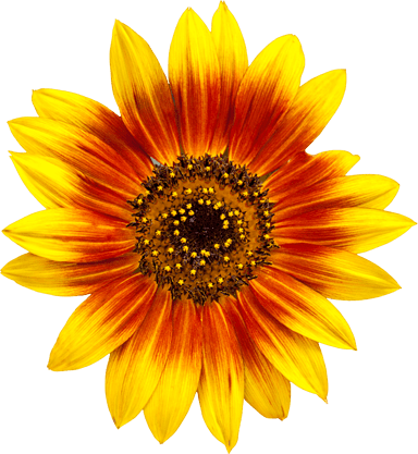 Bicolor Sunflower