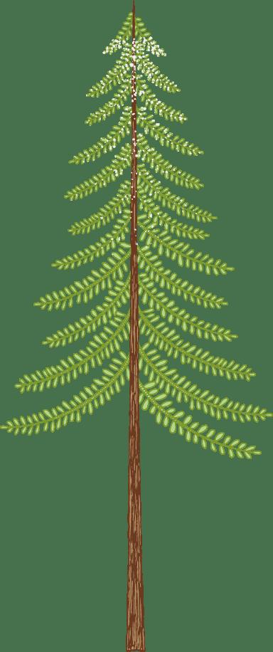 Spruce Tree