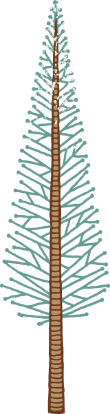Loblolly Pine Tree