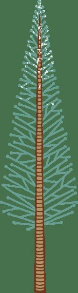 Loblolly Pine Tree