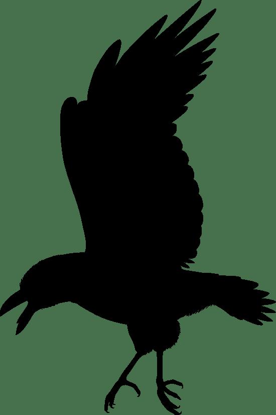 Swooping Raven