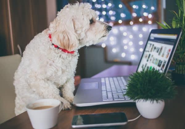 Asset - Poodle Dog