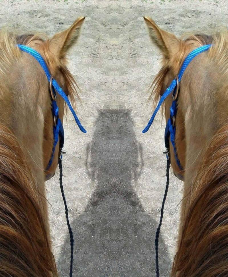 Un usuario de PicMonkey demuestra cómo usar nuestro nuevo efecto Espejo, creando la ilusión de dos caballos proyectando una sola sombra.