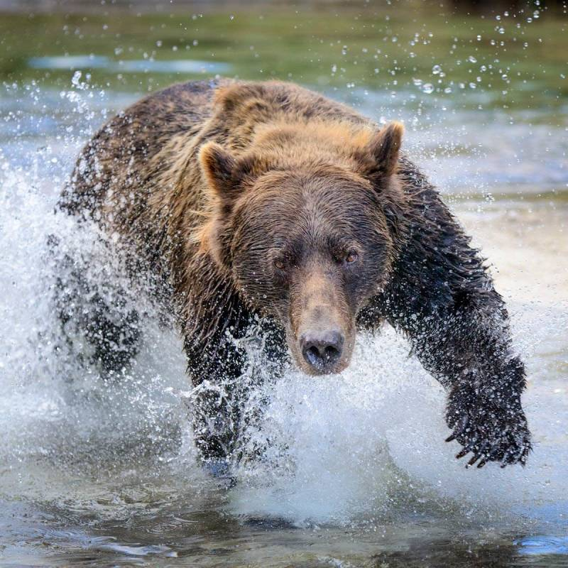 A grizzly mama bear charging forward like this challenges one's ability to stay calm, and shoot.