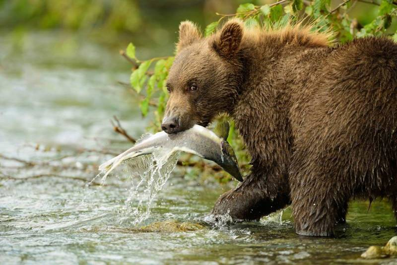 A young bear catches a fish by the water's edge in Katmai, Alaska.