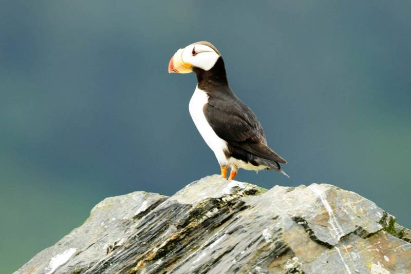 The horned puffin is an underwater flyer!