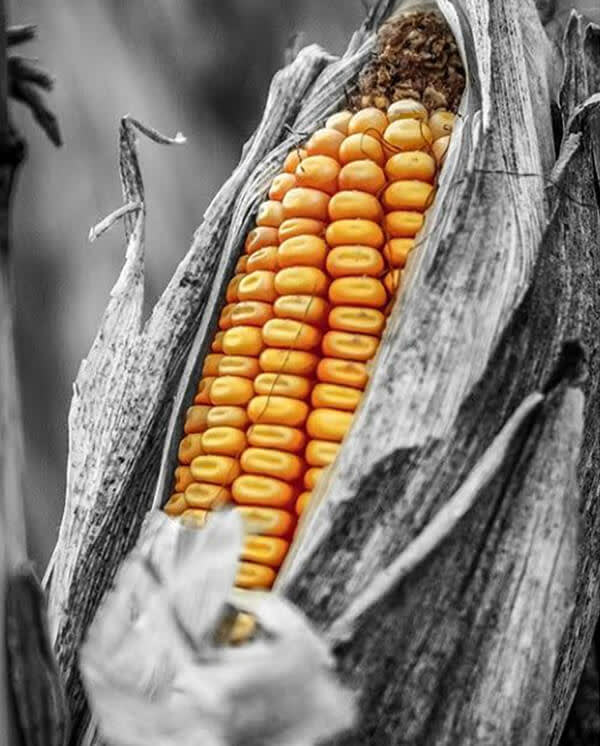 This black and white picture of an ear of corn gets kicked up a notch with a color pop of yellow kernels.