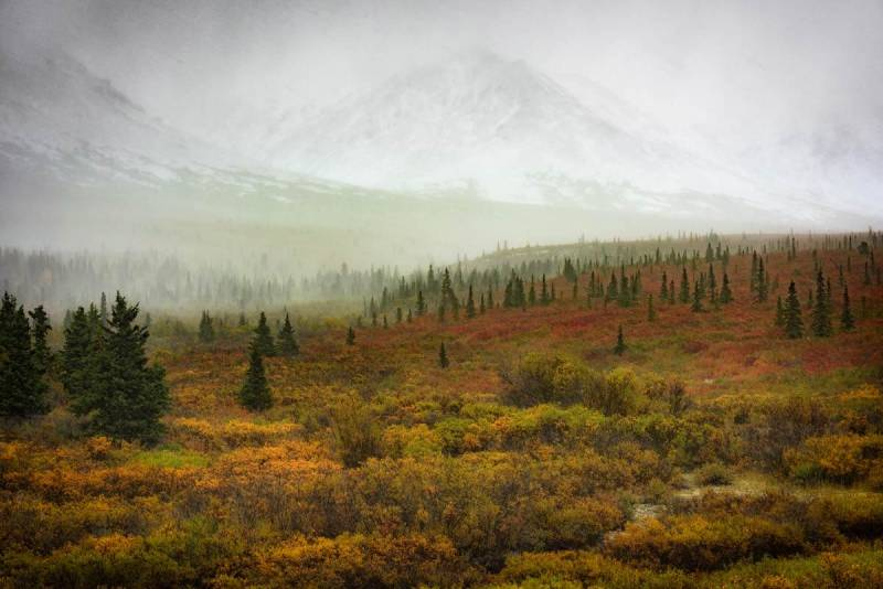 Trees below Denali, formerly known as Mt. McKinley