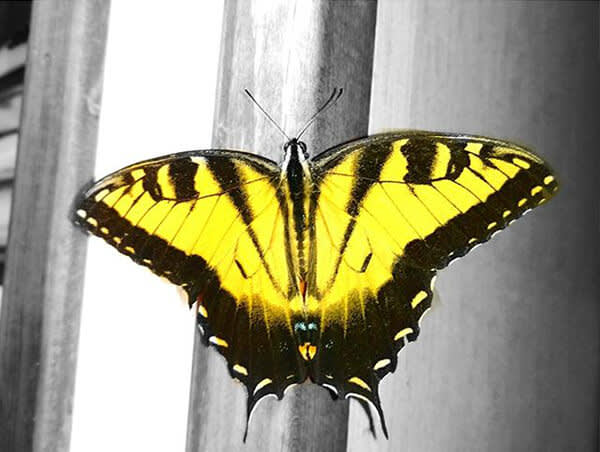 This bright yellow butterfly looks extra gorgeous against a black and white background. Make your own color pop pic with PicMonkey's tools.