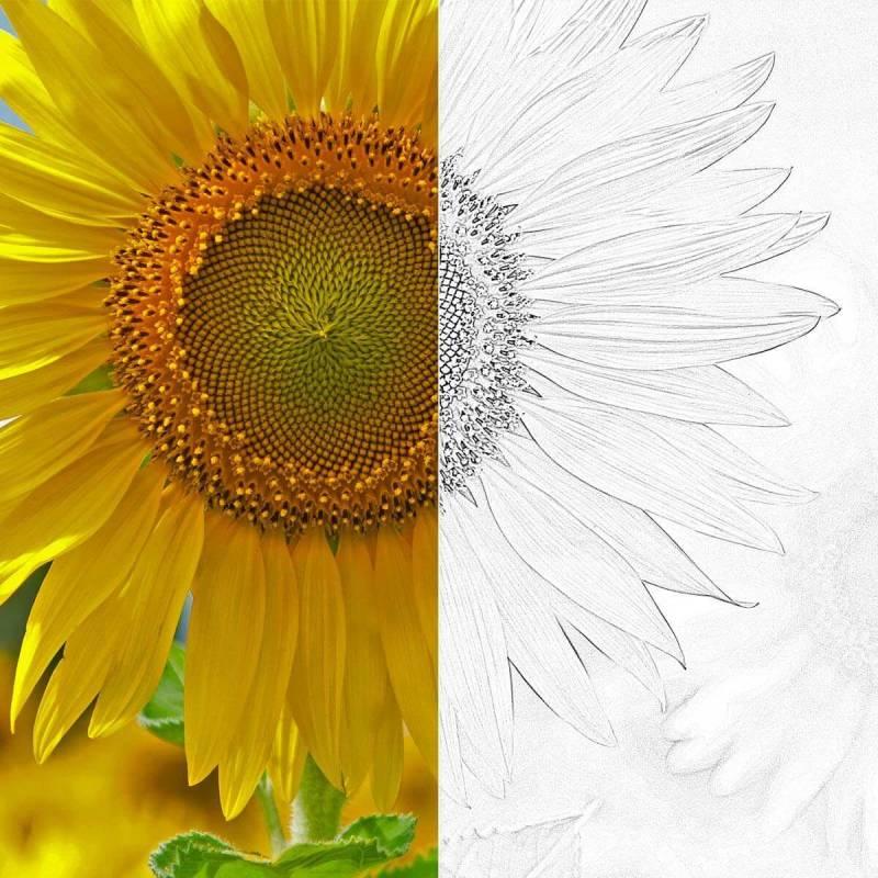 Convierte tus fotos en bocetos: en este ejemplo de antes y después se ve el efecto Bosquejo en la imagen de un girasol.