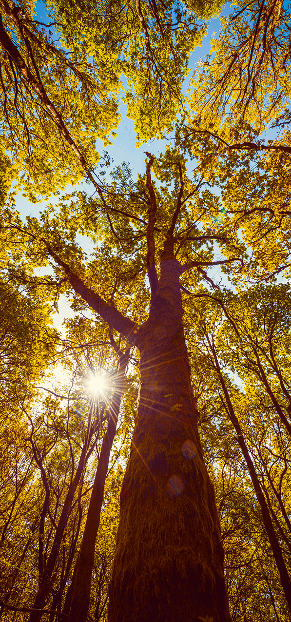 Vertical panoramas are a great way to capture the beauty of light coming through tree branches.