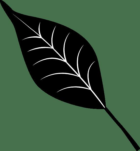 Black Willow Leaf