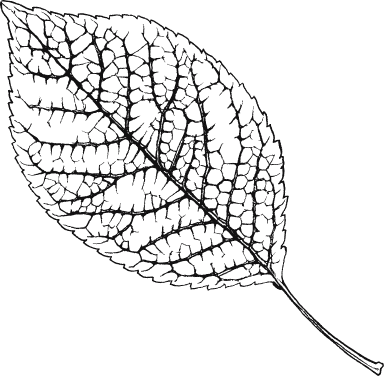 Black & White Elm Leaf
