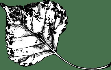 Black & White Aspen Leaf