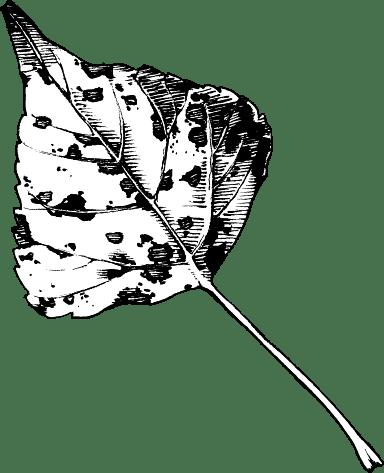 B&W Birch Leaf