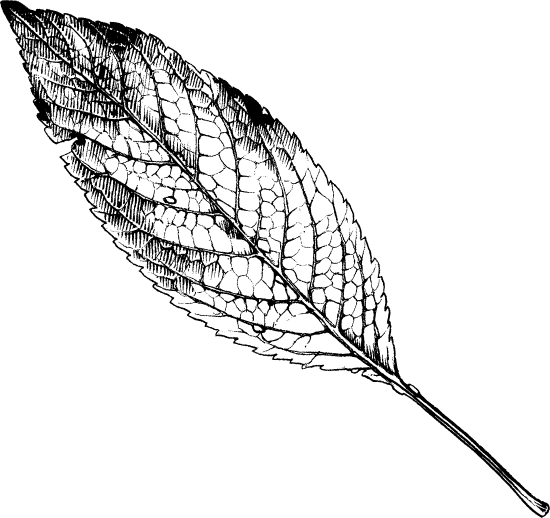 Shaded Elm Leaf