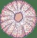 Marine Urchin Shell