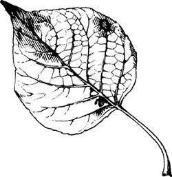 B&W Poplar Leaf