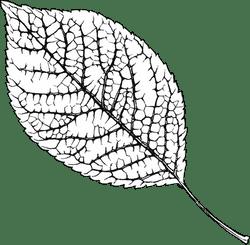 B&W Elm Leaf